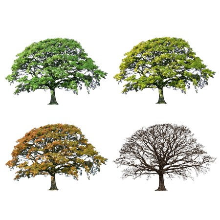 wood agricultural: Oak tree abstract illustration of the four seasons, spring, summer, fall and winter over white background. Stock Photo