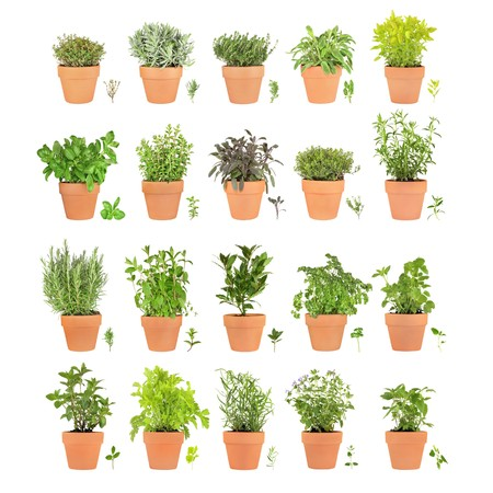 balm: Large herb selection growing in terracotta pots with leaf sprigs over white background.