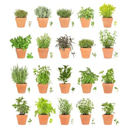 Large sélection d'herbe de plus en terre cuite avec des feuilles de branches sur fond blanc. Banque d'images