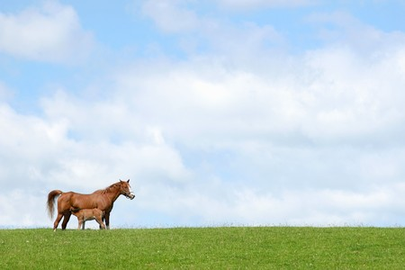 suckling: Horse with foal suckling in a field in spring against a blue sky with clouds. (Welsh, section, c,)