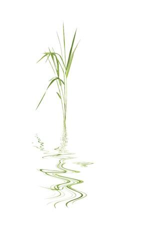 feuille de bambou: Abstraite zen d'herbe feuille de bambou avec une r�flexion sur eau rid�e, contre un fond blanc.