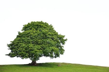 sicomoro: Albero di sicomoro in foglia completo in un campo estivo, su sfondo bianco. Archivio Fotografico