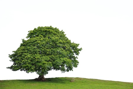 Sycamore tree in full leaf in a field summer, over white background.