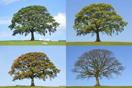 the ancient pass: Oak tree in the four seasons of spring, summer, fall and winter in rural countryside all set against a blue sky.  Stock Photo