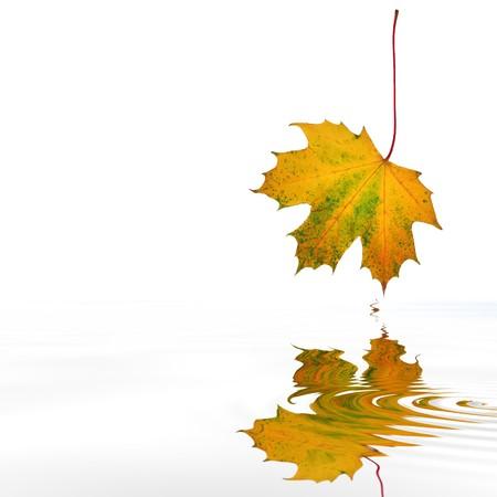 プラタナス: 白い背景の上の波状水上の反射と紅葉のメープル リーフ抽象。 写真素材