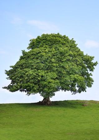 プラタナス: シカモア ツリーの葉後部に雲と青い空夏のフィールドで。 写真素材