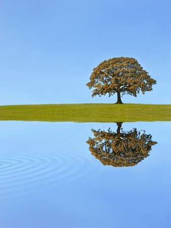 Oak tree in full leaf in autumn in a field,  with reflection over rippled water, against a clear blue sky. Stock Photo - 4456159