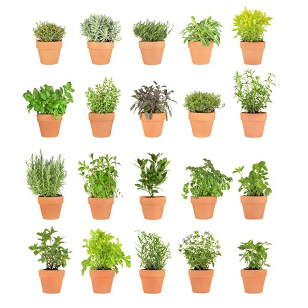Large herb selection growing in twenty terracotta pots over white background. photo