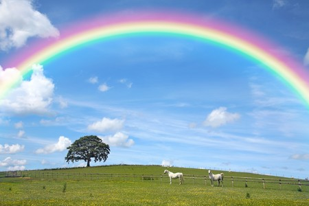 Two white horses grazing in a field of buttercups in summer, with a blue sky and rainbow and an oak tree to the rear. Welsh Section C ponies. photo