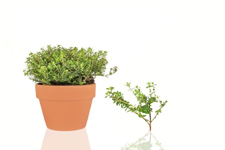 Golden thyme herb growing in a terracotta pot with leaf sprig and reflection, over white background.   photo