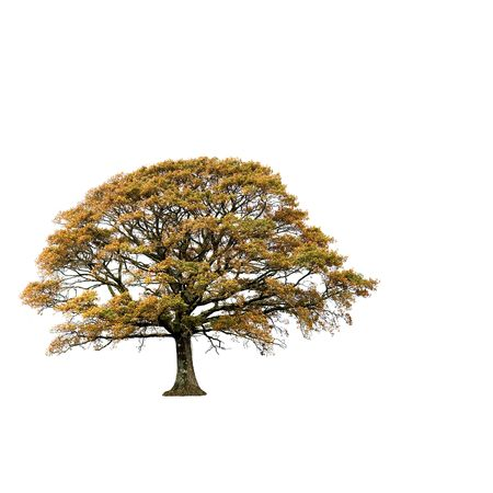 broad leaf: Oak tree in autumn with golden leaves isolated over white background.