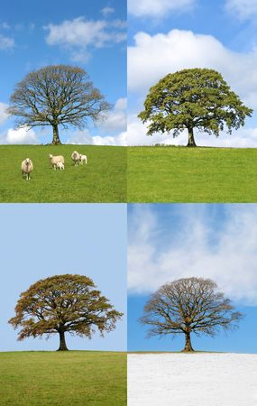 Four seasons of an oak tree in rural countryside in spring, summer, autumn and winter. photo