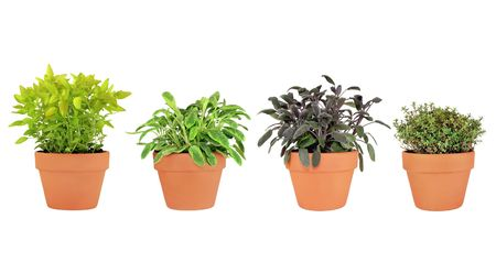 variegated: Herbs of  thyme, feverfew, variegated and purple sage growing in terracotta pots, over white background.