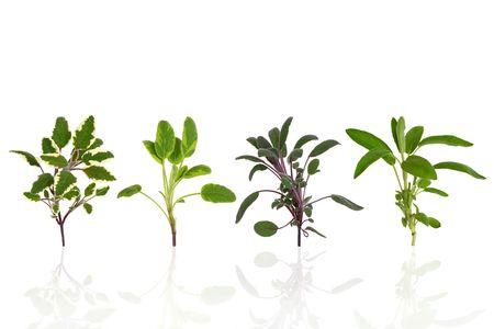 variegated: Sage herb leaf specimens of purple, green, tricolor and variegated, over white background.