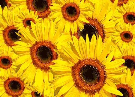 Sunflowers in full bloom in summer forming a background. photo