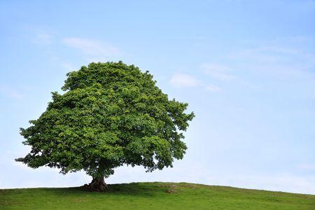 Sycamore Baum in vollem Laub in einem Feld im Sommer mit einem blauen Himmel und die Wolken nach hinten.
