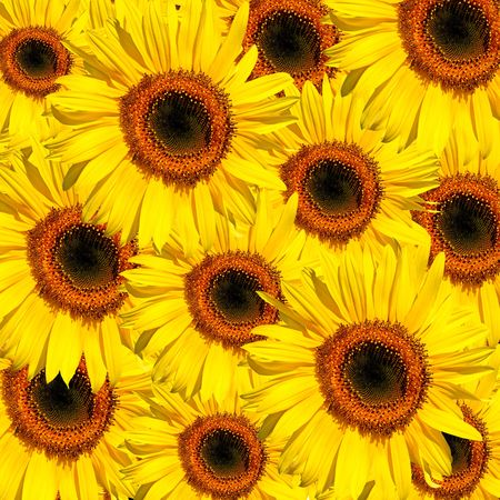 Sunflowers in full bloom in summer forming a background. Stock Photo - 4909635