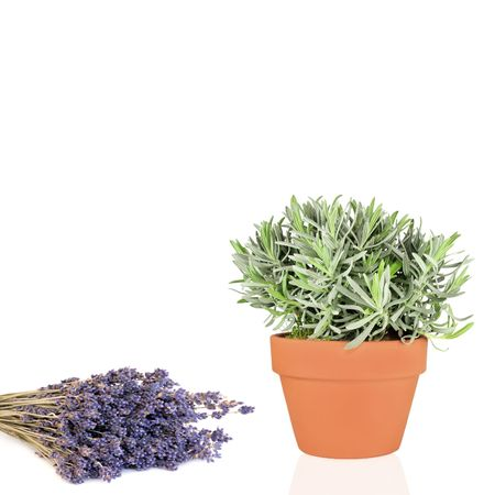 Lavender flowers and herb plant growing in a terracotta pot, over white background. Stock Photo - 4944073