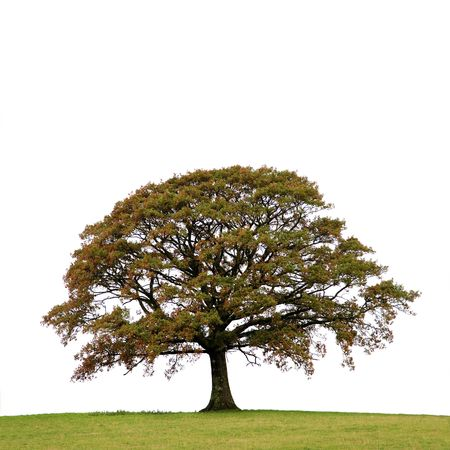 Oak tree in a field autumn, isolated over white background. Stock Photo - 4944084