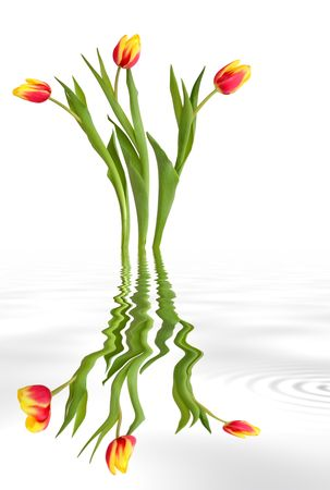 grey water: Red and yellow tulips with reflection in rippled grey water, over white background. Stock Photo