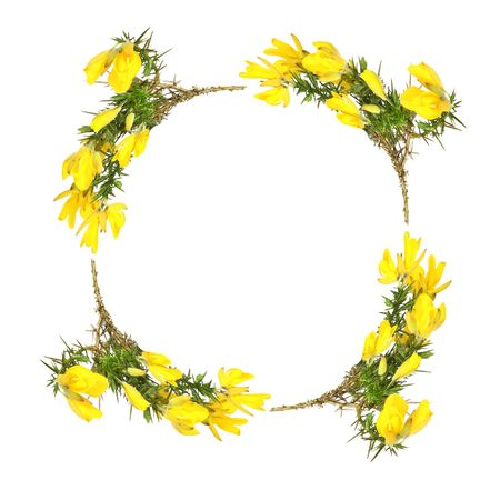 Gorse flowers forming a circular garland and creating border, over white background.