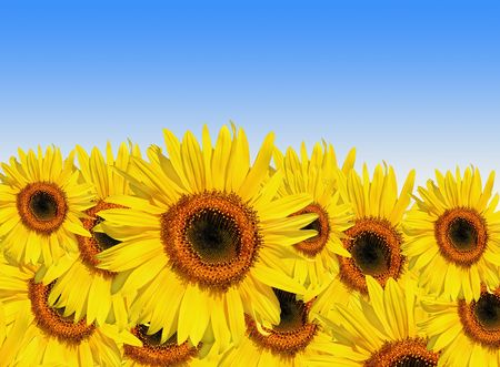 Sunflowers in full bloom set against a blue sky background. Stock Photo - 4986538