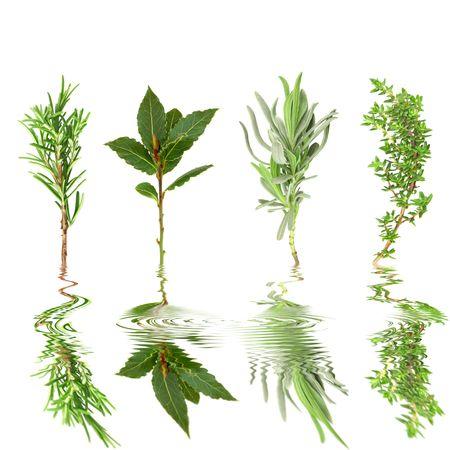 water thyme: Hierbas de hoja de ramitas de romero, laurel, lavanda, tomillo, agit� con reflexi�n en el agua, sobre fondo blanco.