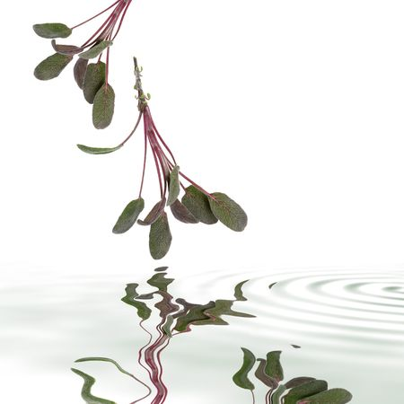 grey water:  Purple sage leaf sprigs with reflection in rippled grey water, over white background.