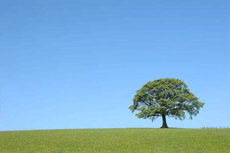 wood agricultural: Oak tree in full leaf in summer in a field in rural countryside set against a clear blue sky.