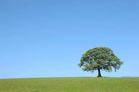 broadleaved tree: Oak tree in full leaf in summer in a field in rural countryside set against a clear blue sky.