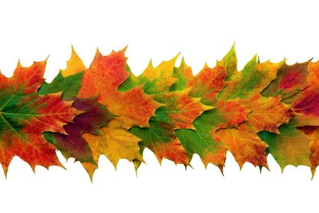 fall line: Maple leaves  in vivid colors of fall overlaid in a line forming a central band, over white background. Stock Photo