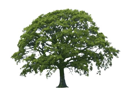 Oak tree abstract illustration over white background.