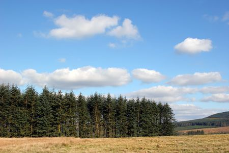managed:  Evergreen managed pine forest in rural wilderness with rough grass to the foreground. Set against a blue sky with alto cumulus clouds. Stock Photo
