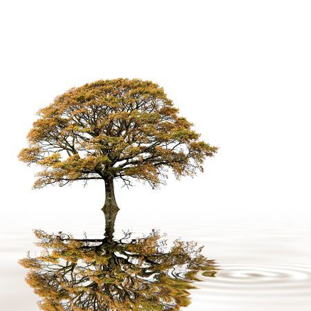 english oak: Oak tree in fall with golden  leaves and reflection in rippled water, over white background. Stock Photo