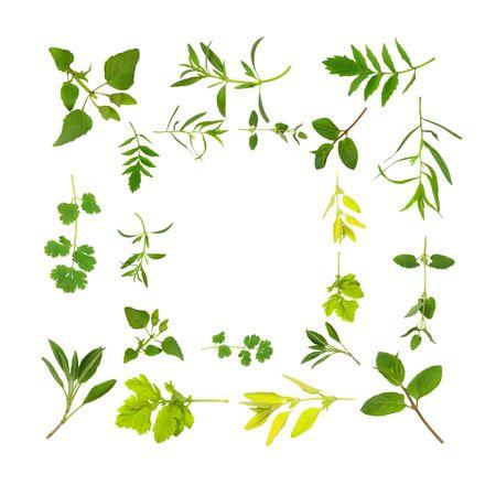 plantas medicinales: Hierbas de hoja de selecci�n formando una frontera abstracta, m�s de fondo blanco.