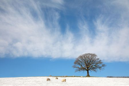 Oak tree in a field in winter with snow and sheep grazing with a blue sky and  cirrus clouds to the rear. Stock Photo - 5228085