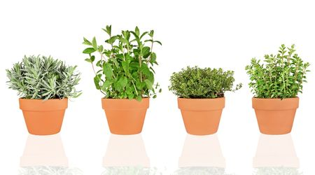 Lavender, mint, thyme and oregano herbs growing in terracotta pots over white background.