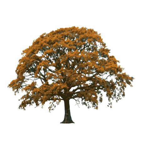 mighty: Oak tree in autumn abstract, over white background. Stock Photo