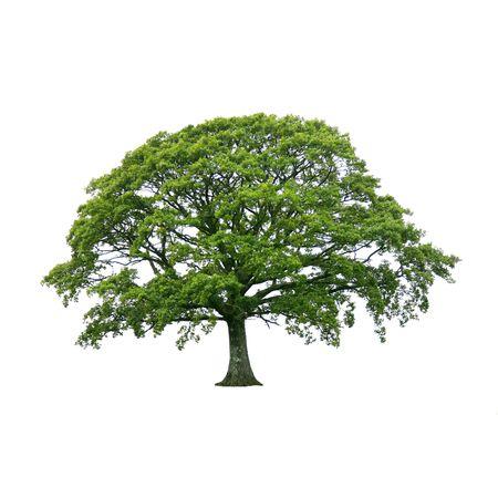 El roble de hoja de árbol en su totalidad en el verano, más aislado fondo blanco.