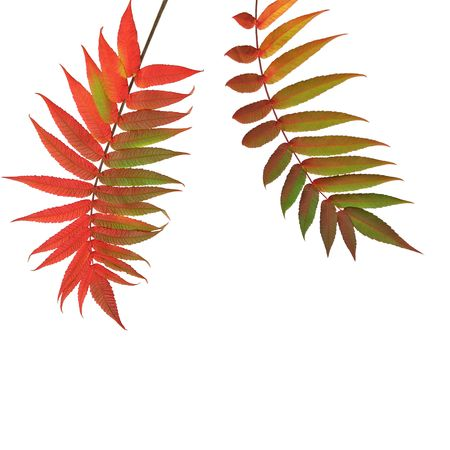 european rowan:  Rowan leaves in the red colors of  fall, over white background.