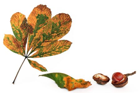 conker: Horse chestnut leaves in fall with a conker and opened husk, over white background.