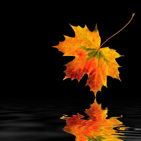 vivid:   Maple leaf abstract in vivid colors of fall with reflection in rippled water, over black background.