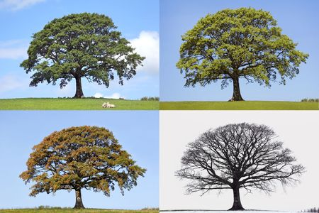 Oak tree time lapse in the four seasons of spring, summer, fall and winter in rural countryside all set against a blue sky.  Stock Photo