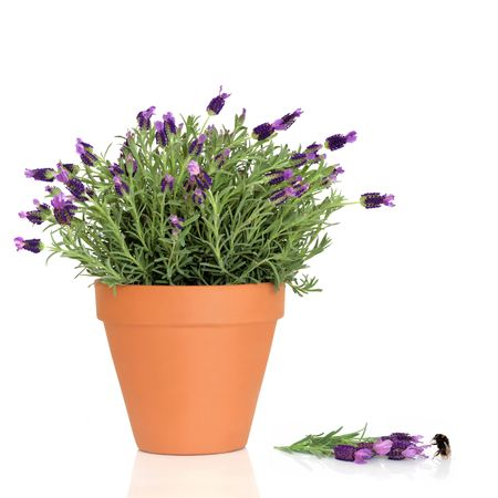 plant drug:  Lavender herb plant in flower growing in a terracotta pot with flowers and a bumblebee over white background.