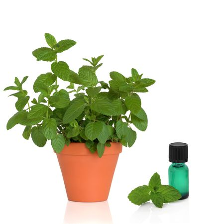 pharmaceutical bottle: Mint herb growing in a terracotta pot with a green aromatherapy essential oil bottle and leaf sprig, over white background. Stock Photo