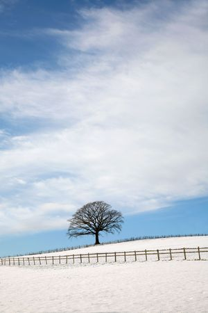 Oak tree in a field with snow in winter with a fence in the foreground and a blue sky and clouds to the rear. photo