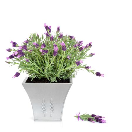 Lavender herb plant with flowers in a pewter pot with floral sprig, over white background. Stock Photo - 5534311
