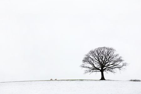 Oak tree in a field of snow in winter against a white sky background. Stock Photo - 5566323