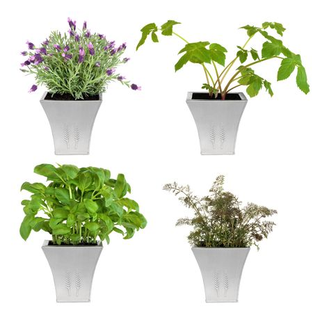 Lavender, angelica, basil and bronze fennel herbs growing in distressed pewter pots, isolated over white background. Stock Photo - 5566322