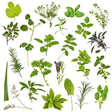 finocchio: Selezione di erbe grande foglia nel disegno astratto su sfondo bianco. Archivio Fotografico